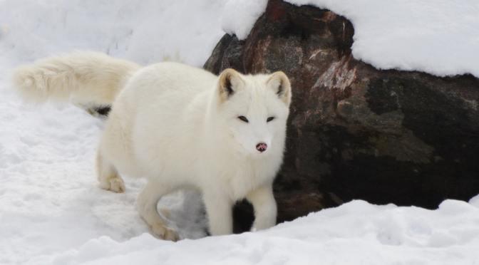The Phantom Trapper of Labrador